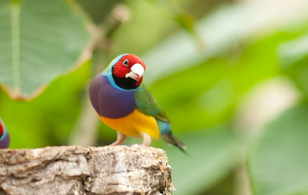 Endangered Gouldian Finch