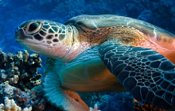 Endangered Green Turtles